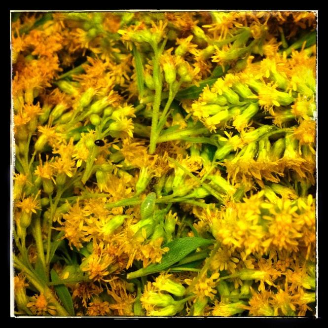 goldenrod blossoms