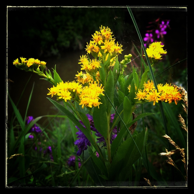 goldenrod in the wild